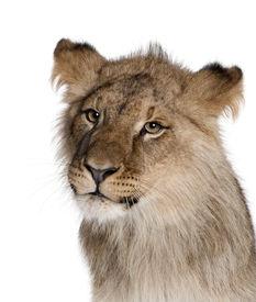 image of lions-head  - Lion - JPG