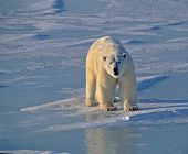 pic of polar bears  - Large male polar bear on ice in Hudson - JPG