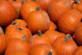picture of jack-o-laterns-jack-o-latern  - A large harvest of pumpkins before Halloween - JPG