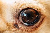Detail Of Dark Eyes Of Small Cute Dog Chihuahua poster