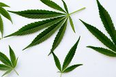 Many Natural Fresh Big And Small Cannabis Five Fingers Leaves Lay In Chaotic. Cannabis Marijuana Lea poster