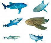 Shark species collection isolated. Whale Shark, Bull Shark, Caribbean Reef, Leopard (Zebra), Whiteti poster