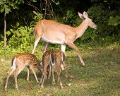 pic of triplets  - Whitetail doe that is sneaking away from triplets while they eat - JPG