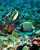 Moorish idols ((Zanclus cornutus) and emperor angelfish (Pomacanthus imperator) Indonesia