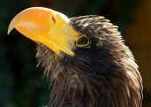 Águila de mar de Steller