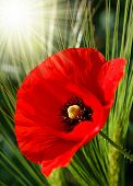 foto of poppy flower  - red poppy - JPG