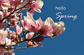 Blooming spring flower pink magnolia against a clear blue sky and a message Hello spring sign letter poster