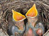hungry baby blackbirds