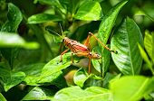 Orange Toxic Lubber Grasshopper On Leaves In Florida
