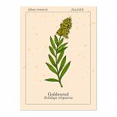 Goldenrod Solidago Virgaurea , Or Woundwort, Medicinal Plant. Hand Drawn Botanical Vector Illustrati poster