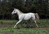 Running white purebred horse
