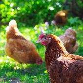 Chickens eating on green meadow