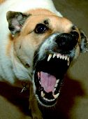 picture of dog teeth  - angry dog - JPG