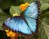 image of butterfly flowers  - Exotic and beautiful Blue Morpho Butterfly spreads its wings for warming - JPG