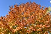 Fall Orange Yellowed Tops Of Forest Fall Tree With Golden Fall Leaves Extending To The Clear Blue Sk poster
