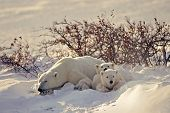 stock photo of polar bears  - Polar bear has duga bed in snow drift and sleeps out a snow storm - JPG