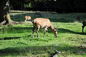 male deer pastures in mountain landscape