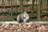 Two Monkeys Are Looking For Fleas From Each Other. Monkey Monitors Fleas And Ticks To Each Other. Mo poster