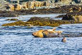 Harbor Seals Resting In Shallow Waters While One Swims Beside Them In Northern Maine, Usa poster