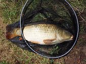 Large Common Carp