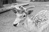 Deer In Zoo. Young Deer Relaxing In Zoo. Tender Soft Horns Of Little Animal. Gorgeous Deer Close Up. poster