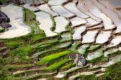 Rice padi