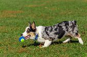 A Welsh Corgi Trots Across The Grass In A Public Park, Carrying A Blue-and-green Tennis Ball In Its  poster