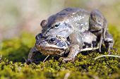 picture of animals sex reproduction  - Male frog on top of another make love - JPG
