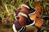 Colourful Ducks