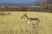 Desert antelope