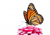 image of zinnias  - Brilliant Viceroy butterfly feeding on a bright pink Zinnia - JPG