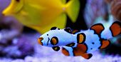 Captive-bred Clownfish Wyoming White Clownfish - (amphiprion Ocellaris ) poster