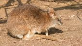 image of tammar wallaby  - A close - JPG