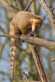 image of coatimundi  - An eating coatimundi in a tree  - JPG