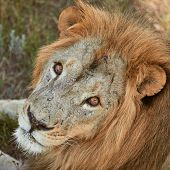 Close-up Portrait Of Adult Male Lion. Scarred Lion Face. Wild Animal In The Nature Habitat. poster
