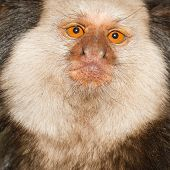 image of marmosets  - One Tufted - JPG
