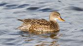 A Gadwall (female)