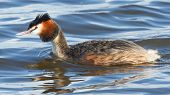 image of great crested grebe  - Great crested grebe in blue water (Holland)