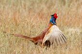 image of pheasant  - A common Pheasant in it - JPG
