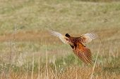 A Common Pheasant Is Flying