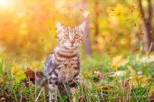 Domestic Cat For A Walk In The Autumn Park. Home Pet. Cat And Autumn. Bengal Cat Kitten. poster