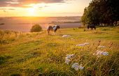 Horses Pasturing In A Rural Landscape Under Warm Sunlight With Blue Yellow And Orange Colors Grazing poster