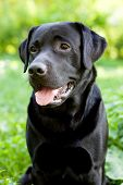 Preto Labrador Retriever