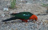 stock photo of king parrot  - Australian King - JPG