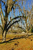 Pecan Orchard With Spanish Moss