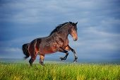 stock photo of galloping horse  - Beautiful brown horse running gallop on the field - JPG