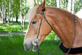 foto of birchwood  - a horse is by a canicular day in a birchwood - JPG