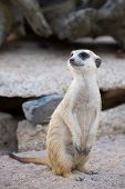Portrait Of Slender-tailed Meerkat