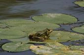 Frog on a water lilies
