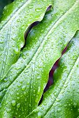Abstract Closeup Of Green Plant Leaf With Rain Droplets